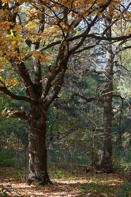 осенний пейзаж с дубом, большая фотография