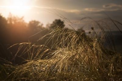 Ковыль в лучах солнца на закате