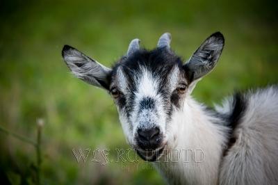 портрет козы фото