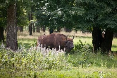 зубр, бизон на природе