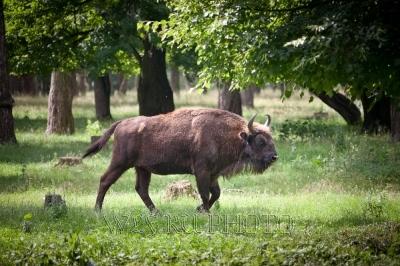 зубр, бизон на воле