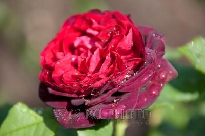 красная роза с росой фото