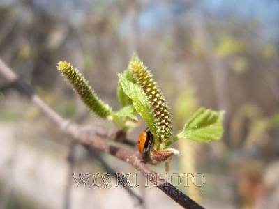 распускающиеся почки березы весной, фото весны