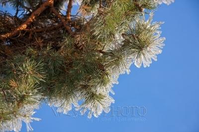 сосновые ветки, иглы во льду