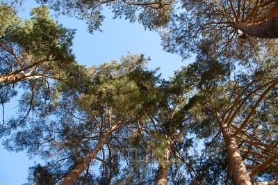 кроны сосен, сходящиеся кроны деревьев фото