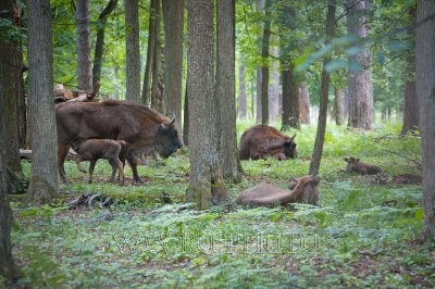 стадо зубров в лесу фото
