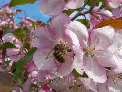 яблоневый цвет фото большого разрешения, пчела на цветке яблони