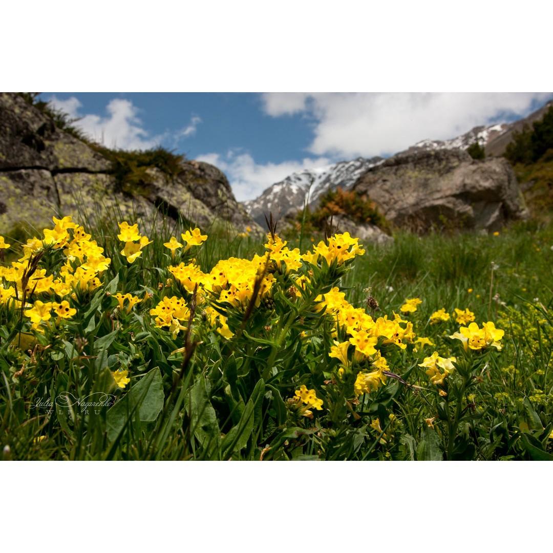 Золото кавказских гор